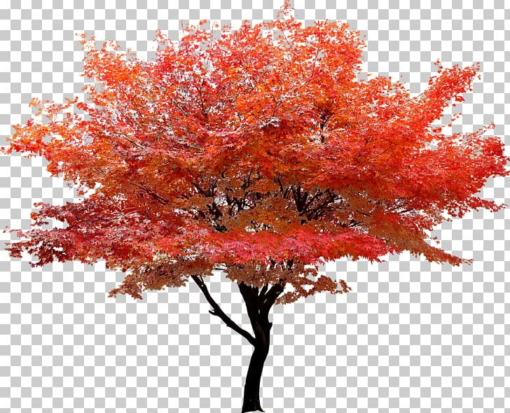 Red Maple Tree Autumn Leaf Color PNG, Clipart, Autumn, Autumn Leaf Color, Branch, Christmas Tree, Color  Free PNG Download