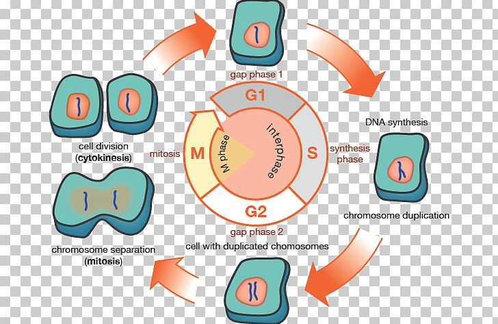 G1 Phase G2 Phase Cell Cycle Mitosis Interphase Png Clipart
