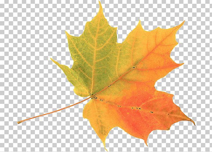 Autumn Leaf Color Maple Leaf PNG, Clipart, Autumn, Autumn Leaf Color, Clip Art, Color, Drawing Free PNG Download