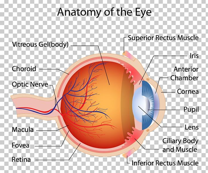 Human Eye Macula Of Retina Muscle Anatomy PNG, Clipart