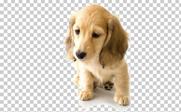Golden Retriever Dachshund Puppy World Animal Day Pet PNG, Clipart