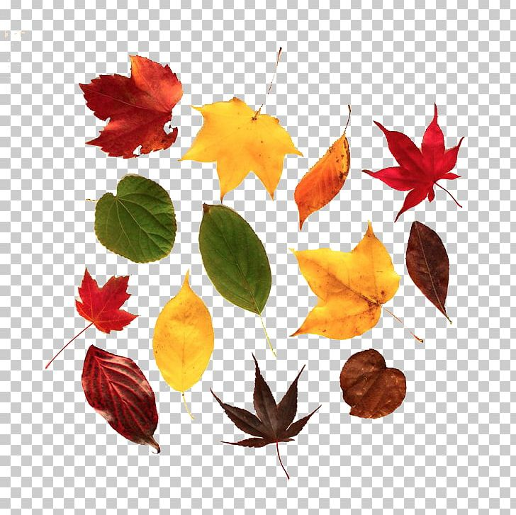 Autumn Leaf Color Maple Leaf PNG, Clipart, Autumn, Autumn Leaf Color, Autumn Leaves, Autumn Tree, Banana Leaves Free PNG Download