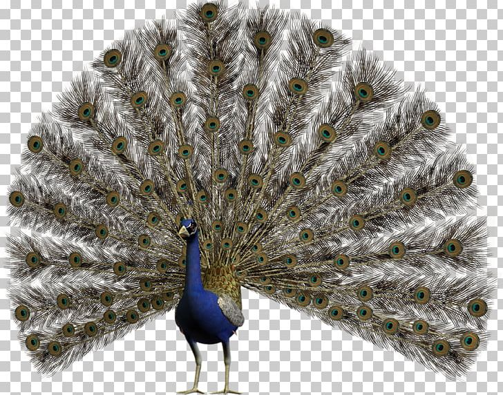 Bird Pavo Asiatic Peafowl Feather PNG, Clipart, Animals, Art, Asiatic Peafowl, Beak, Bird Free PNG Download