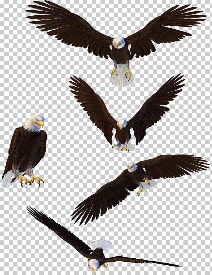 Bald Eagle PNG, Clipart, Accipitriformes, Animals, Bald Eagle, Beak, Bird Free PNG Download