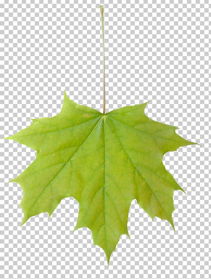Sugar Maple Maple Leaf Acer Macrophyllum Tree PNG, Clipart, Acer Macrophyllum, Autumn, Autumn Leaf Color, Green, Leaf Free PNG Download