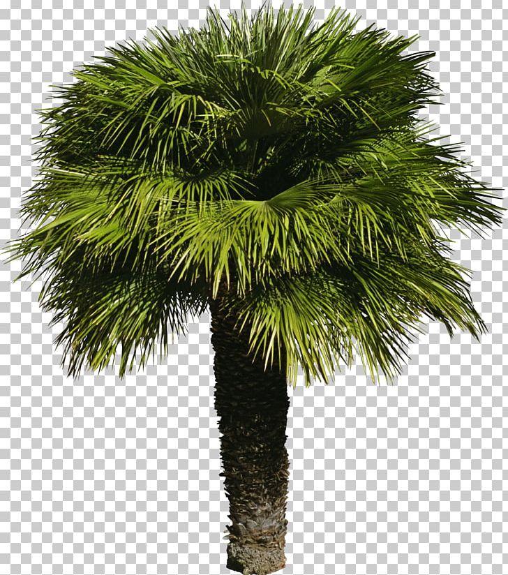 Tree Arecaceae Shrub PNG, Clipart, Arecaceae, Arecales, Attalea Speciosa, Borassus Flabellifer, Coconut Free PNG Download