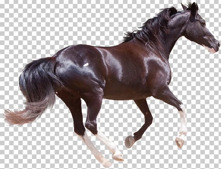 Friesian Horse Morgan Horse American Quarter Horse Black Forest Horse Stallion PNG, Clipart, American Quarter Horse, Animal Figure, Animals, Bit, Black Free PNG Download