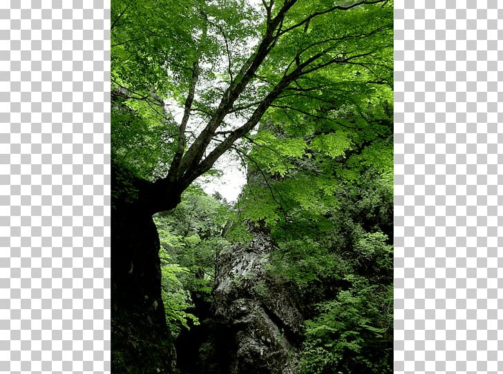 Valdivian Temperate Rain Forest Rainforest Temperate Broadleaf And Mixed Forest Vegetation PNG, Clipart, Biome, Branch, Broadleaved Tree, Deciduous, Ecosystem Free PNG Download