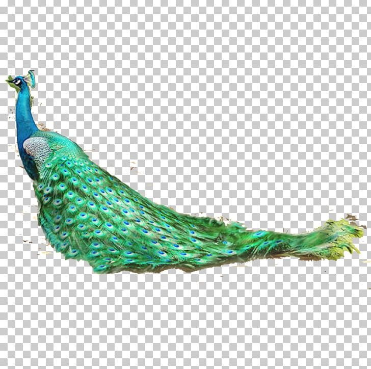 Feather Bird Asiatic Peafowl PNG, Clipart, Animal, Animals, Aqua, Asiatic Peafowl, Beak Free PNG Download