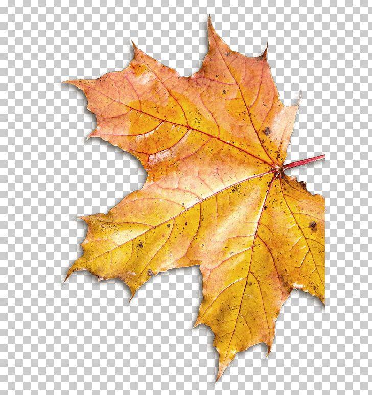 Maple Leaf Plane Trees PNG, Clipart, Autumn, Deciduous, Leaf, Maple, Maple Leaf Free PNG Download