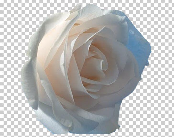 Desktop Rose Flower PNG, Clipart, 1080p, Cut Flowers, Darshan, Desktop Wallpaper, Display Resolution Free PNG Download