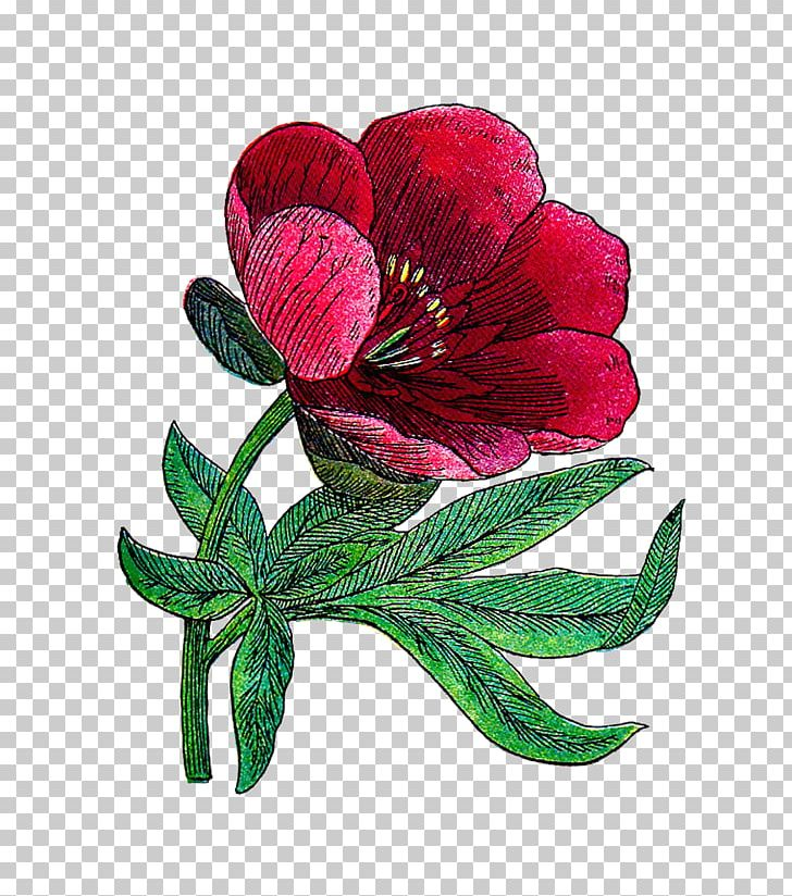 Peony Flower Vintage Clothing PNG, Clipart, Alstroemeriaceae, Antique, Art, Cut Flowers, Floral Design Free PNG Download