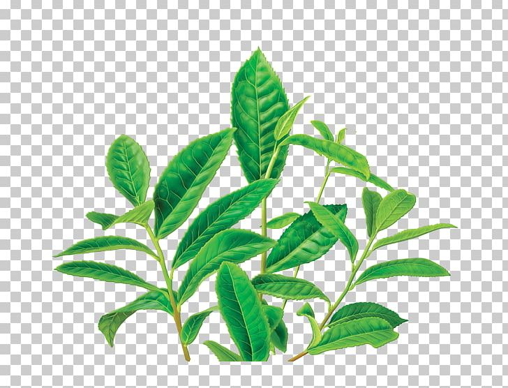 Green Tea Organic Food Masala Chai Decaffeination PNG, Clipart, Caffeine, Coffee, Coffee Bean, Decaffeination, Food Free PNG Download