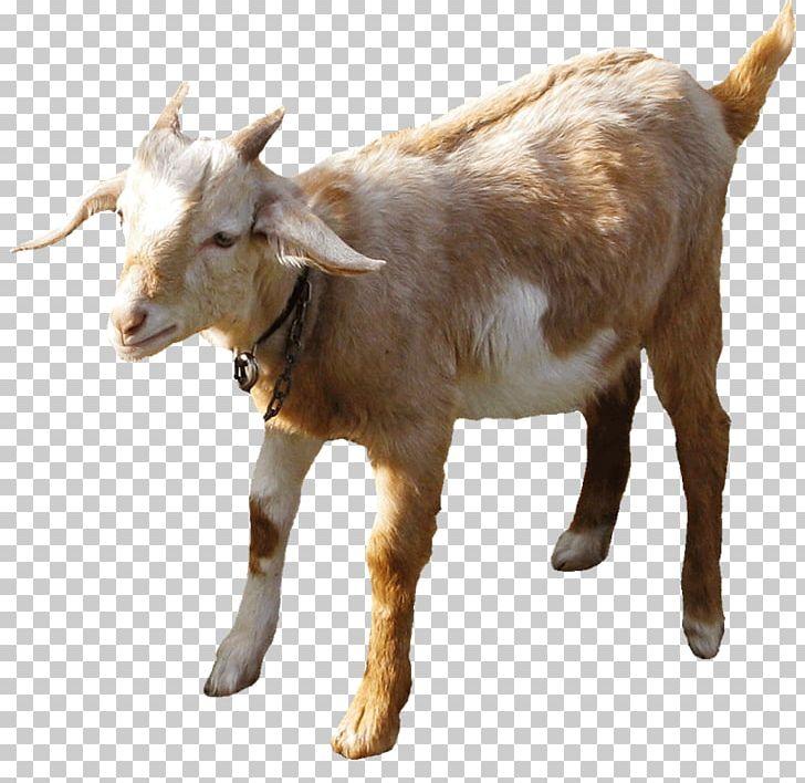Boer Goat Sheep Farming Goat Farming Sheep–goat Hybrid PNG, Clipart, Animals, Boer Goat, Caprinae, Cattle, Cattle Like Mammal Free PNG Download