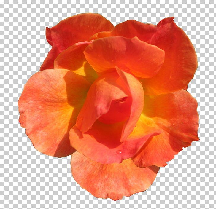 Orange Flower Rose Red PNG, Clipart, Clip Art, Cut Flowers, Drawing, Flower, Flowering Plant Free PNG Download