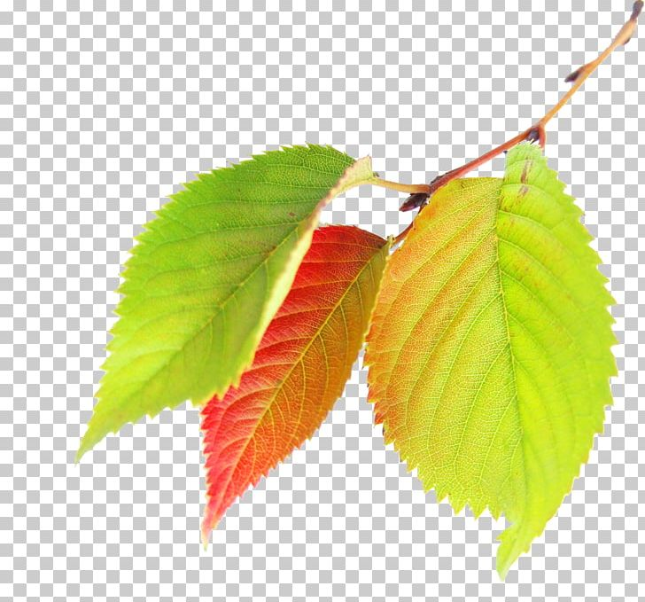 Maple Leaf Autumn PNG, Clipart, Autumn, Autumn Has Come, Autumn Leaf Color, Autumn Leaves, Autumn Tree Free PNG Download