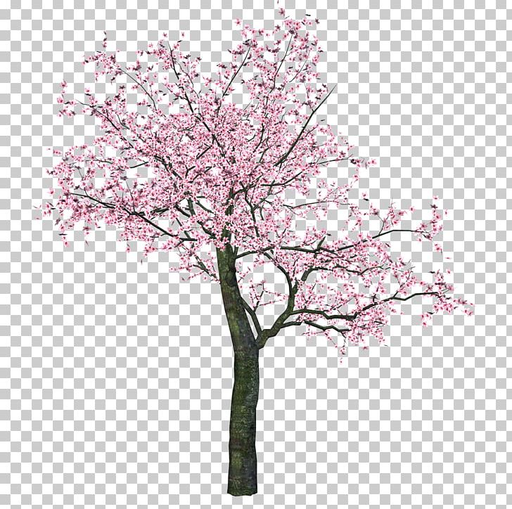Cherry Blossom Portable Network Graphics Tree PNG, Clipart, Blossom, Branch, Cherries, Cherry Blossom, Flower Free PNG Download