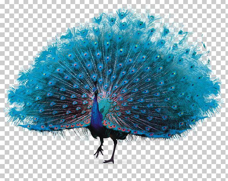 Feather Peafowl PNG, Clipart, Adobe Illustrator, Animals, Beak, Beautiful, Chinalack Free PNG Download