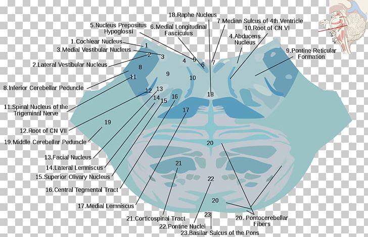 Reticular Formation Pons Nucleus Raphe Nuclei Brainstem ...