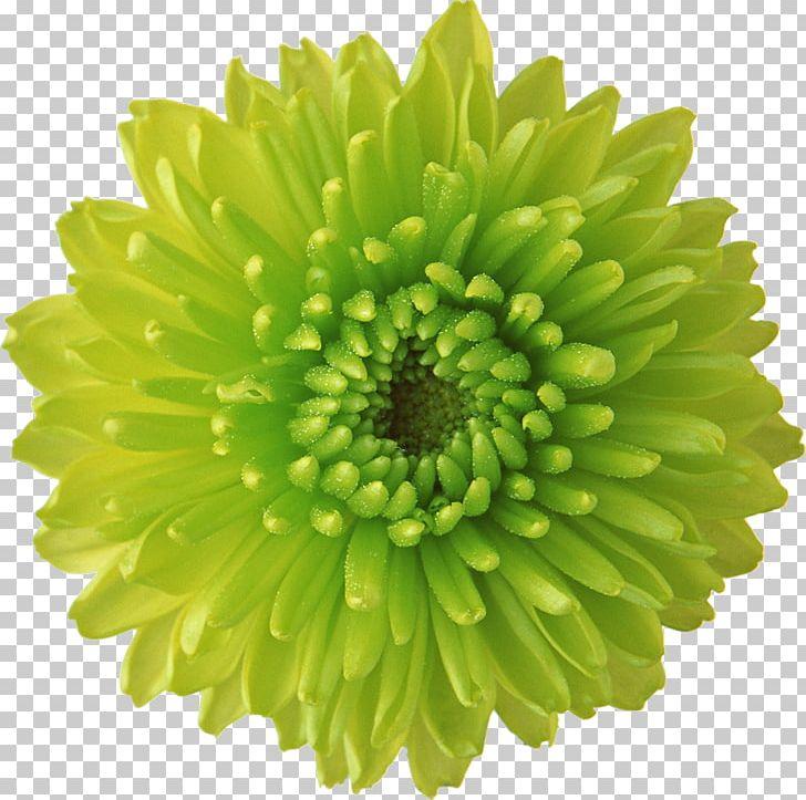 Flower Green Desktop Display Resolution PNG, Clipart, Annual Plant, Chrysanthemum, Chrysanthemum Coronarium, Chrysanths, Color Free PNG Download