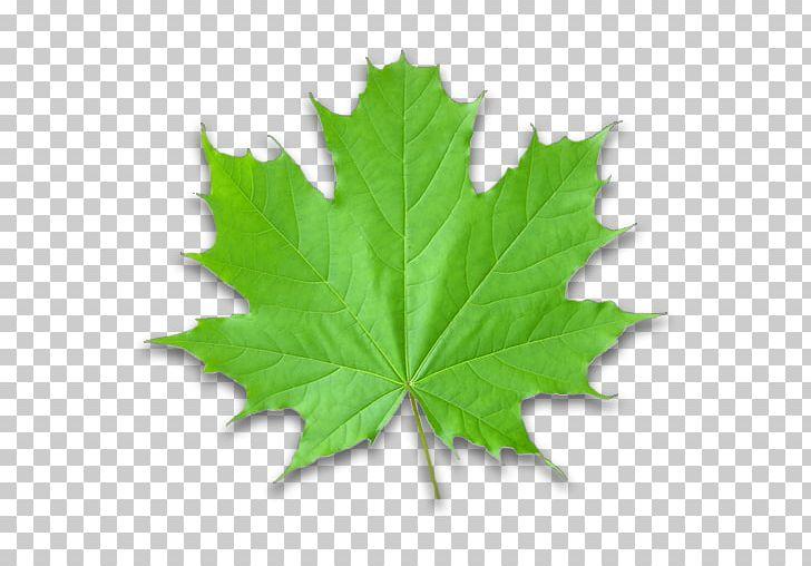 Maple Leaf Green Autumn Leaf Color PNG, Clipart, Autumn Leaf Color, Color, Green, Leaf, Maple Free PNG Download