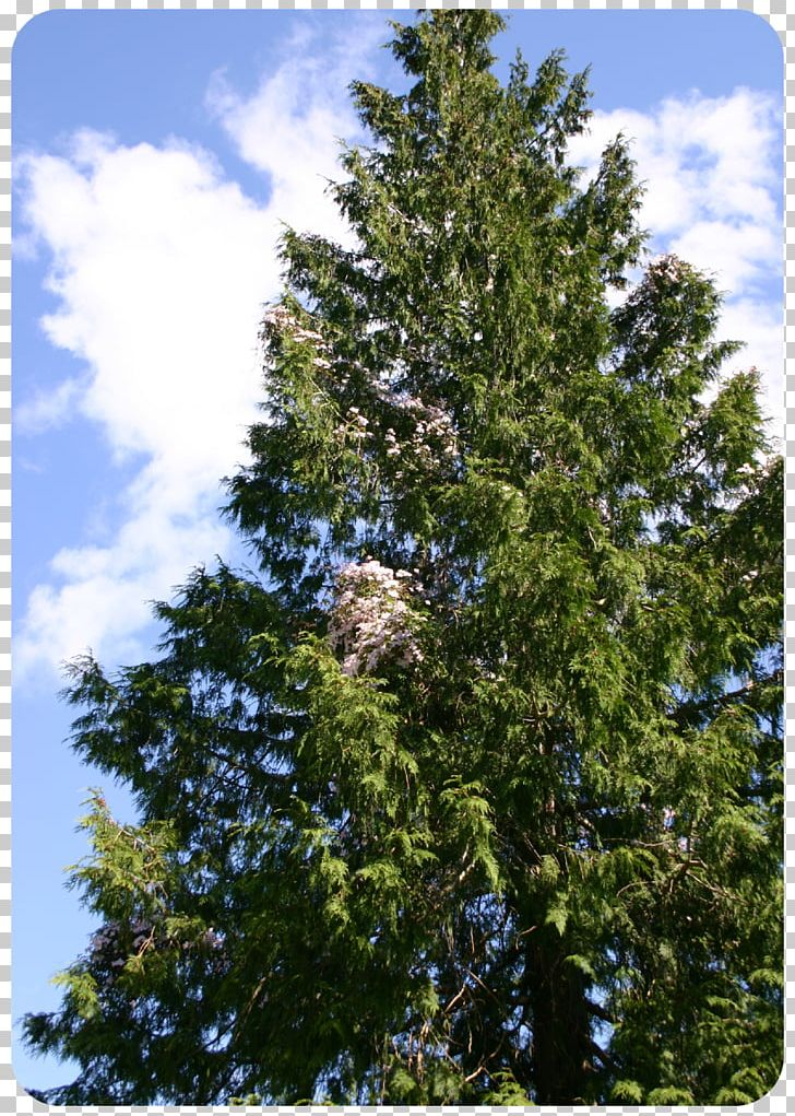 Spruce Fir Pine Temperate Coniferous Forest Larch PNG, Clipart, Biome, Branch, Bro, Conifers, Cypress Family Free PNG Download