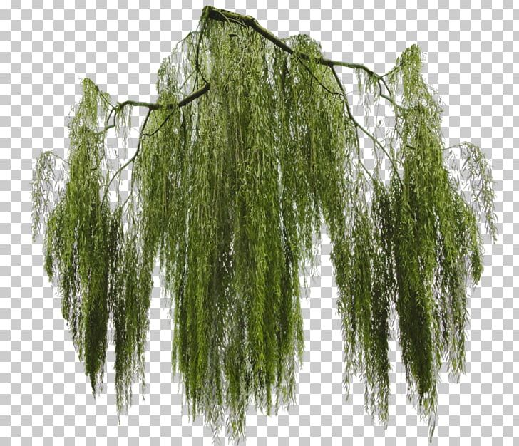 Weeping Willow Tree Branch Giant Sequoia PNG, Clipart