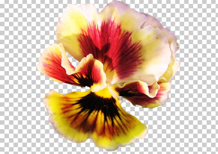 Pansy Petal PNG, Clipart, Flower, Flowering Plant, Miscellaneous, Others, Pansy Free PNG Download