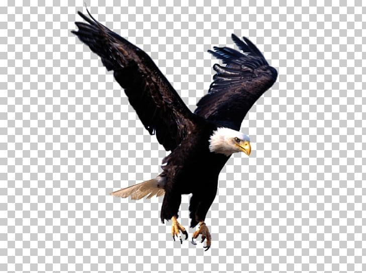 Bald Eagle Desktop Png Clipart Accipitriformes Animals