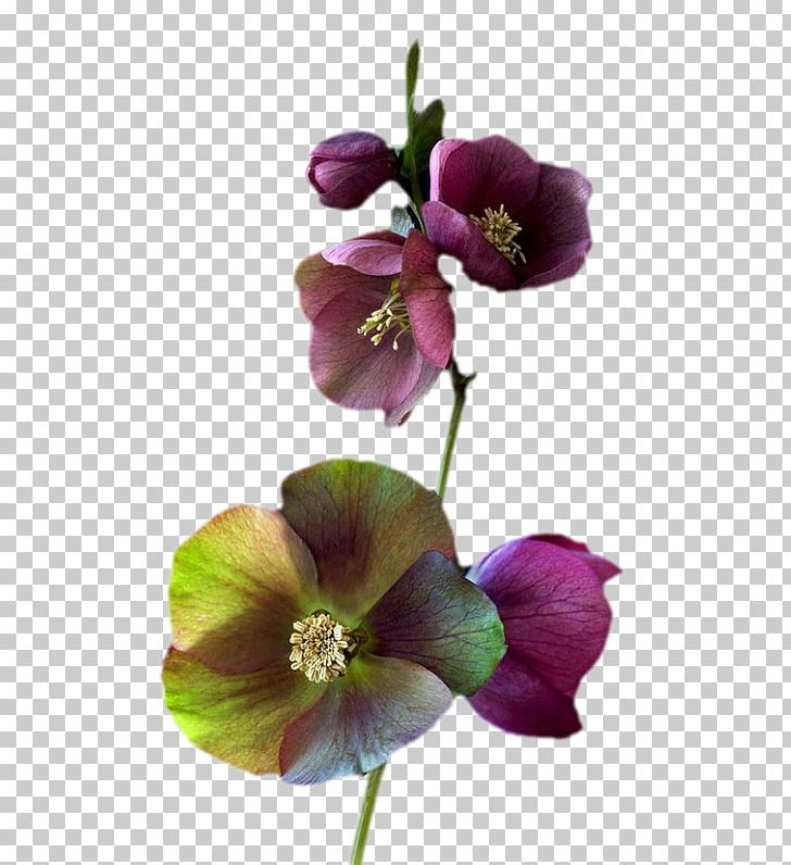 Common Hibiscus Flower Png Clipart Blossom Color Common Hibiscus