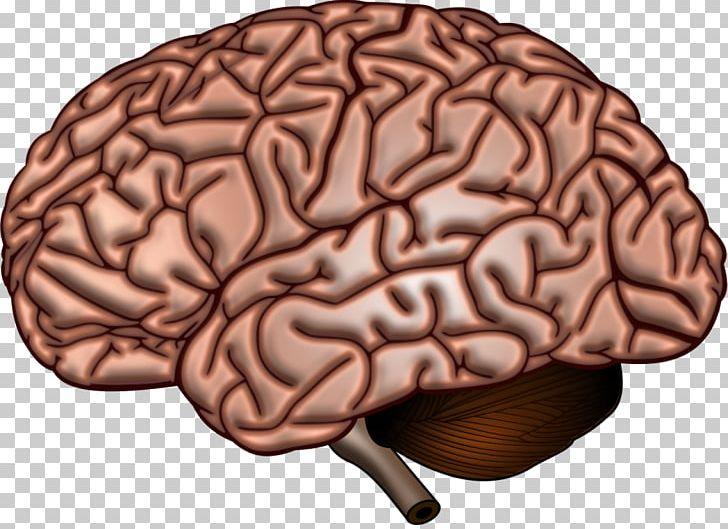 Human Brain Anatomy Neuroscience Cerebral Cortex PNG, Clipart, Anatomy, Brain, Brain Tumor, Cell, Cerebral Cortex Free PNG Download