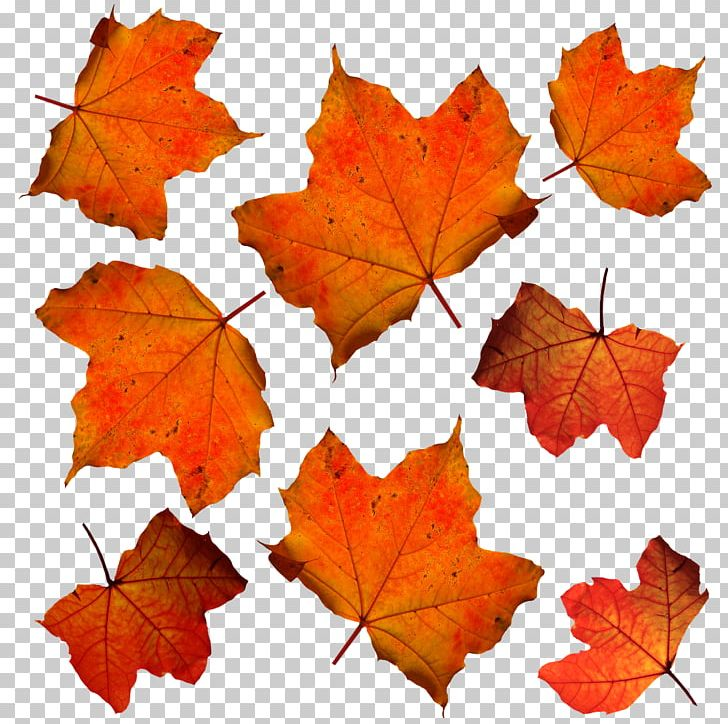 Autumn Leaf Color Orange PNG, Clipart, Autumn, Autumn Leaf Color, Autumn Leaves, Color, Deciduous Free PNG Download