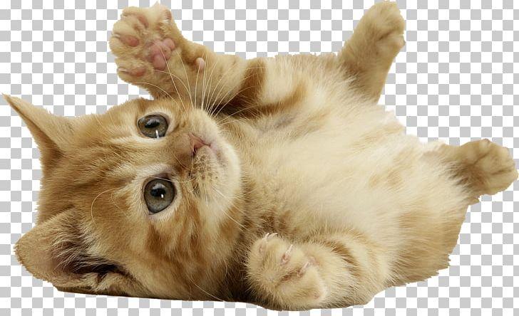 Norwegian Forest Cat Kitten PNG, Clipart, Animallover, Animalphotography, Animals, Black Cat, Carnivoran Free PNG Download