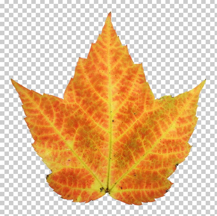Autumn Leaf Color Maple PNG, Clipart, Animation, Autumn, Autumn Leaf Color, Autumn Leaves, Color Free PNG Download