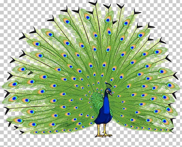 Bird Asiatic Peafowl PNG, Clipart, Animals, Asiatic, Asiatic Peafowl, Beak, Bird Free PNG Download