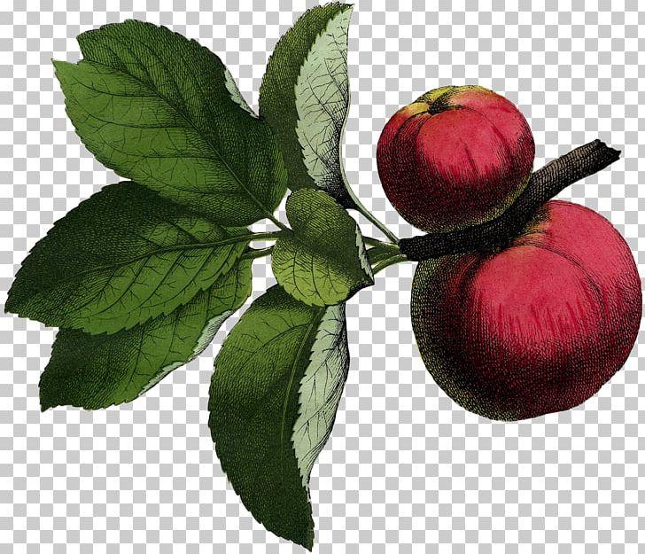 Illustration Fruit Poster Graphics PNG, Clipart, Apple, Art, Botanical Illustration, Botany, Food Free PNG Download