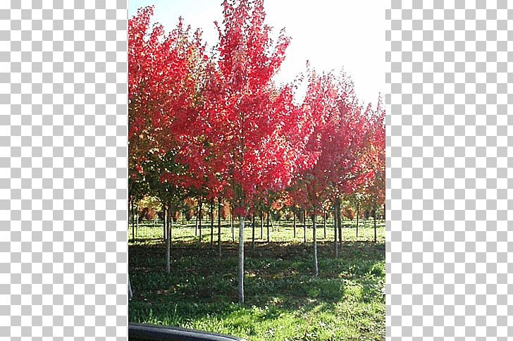 Red Maple Silver Maple Japanese Maple Sugar Maple Acer Freemanii PNG, Clipart, Acer Freemanii, Autumn, Autumn Leaf Color, Branch, Flowering Plant Free PNG Download
