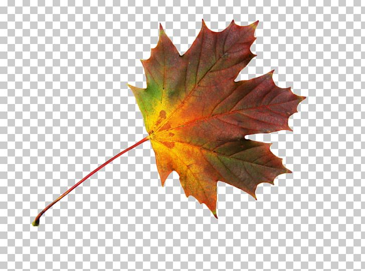 Maple Leaf Autumn PNG, Clipart, Autumn, Autumn Leaves, Bild, Database, Finns Party Free PNG Download