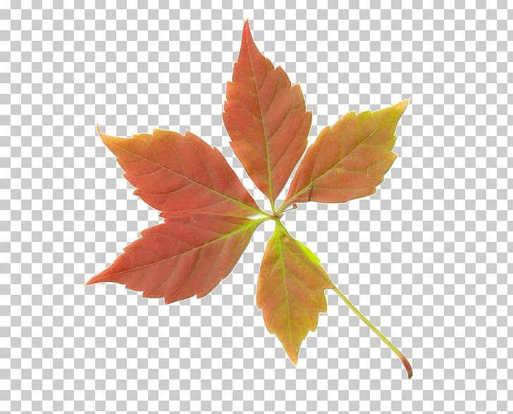 Maple Leaf Autumn Deciduous PNG, Clipart, Autumn, Autumn Leaf Color, Autumn Leaves, Branch, Deciduous Free PNG Download