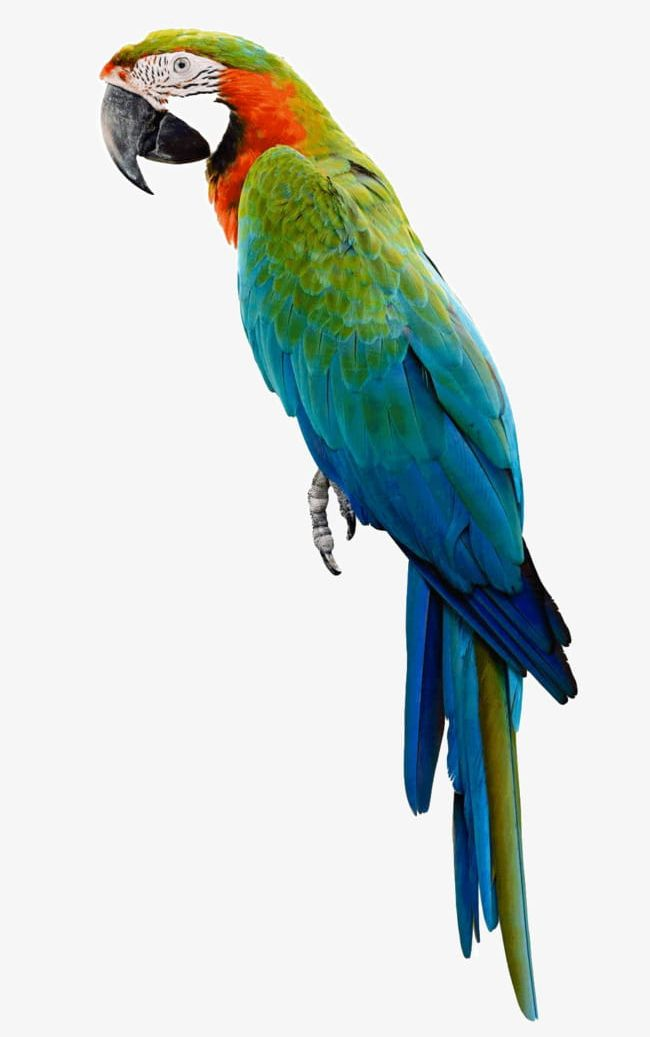 Parrot PNG, Clipart, Animal, Kind, Parrot, Parrot Clipart, Product Free PNG Download