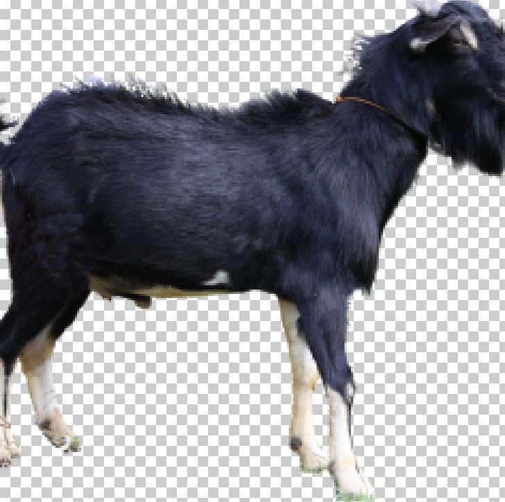 Jamnapari Goat Livestock Boer Goat Aqiqah Siap Saji Semarang (SunahAqiqoh.com) Limousin Cattle PNG, Clipart, Animal, Animal Husbandry, Animals, Aqiqah, Boer Goat Free PNG Download