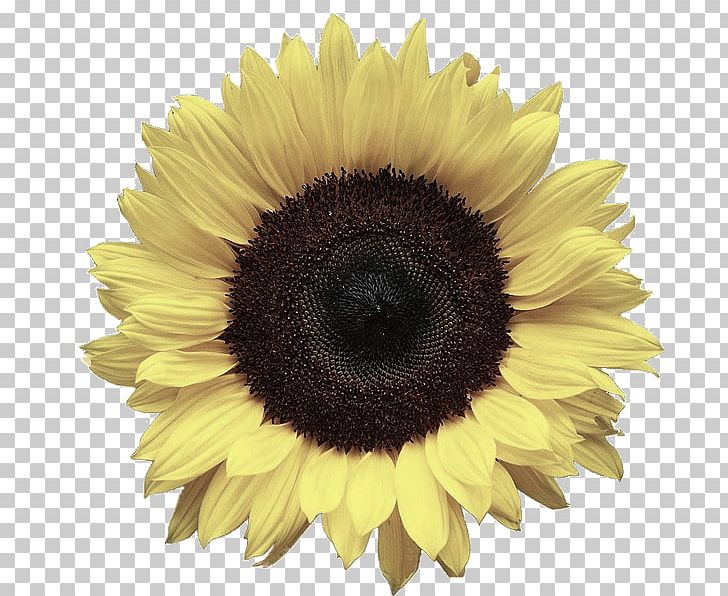 Portable Network Graphics Common Sunflower Desktop PNG, Clipart, Asterales, Clip Art, Daisy Family, Editing, Flower Free PNG Download