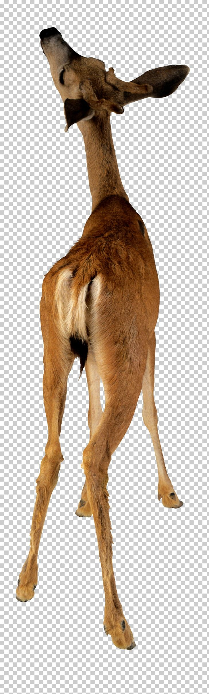 Deer Animal Camel Stock Photography PNG, Clipart, Animals, Antelope, Antler, Christmas Deer, Deer Antlers Free PNG Download