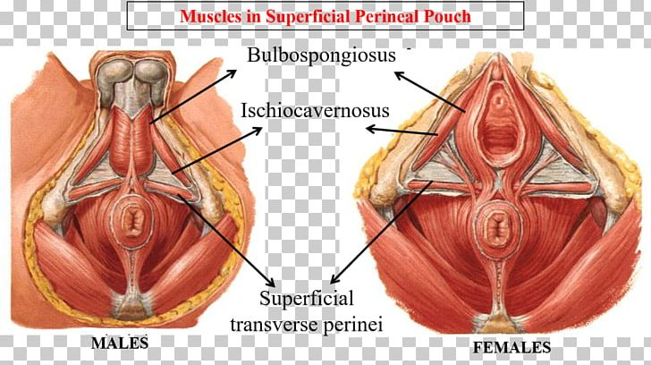 perineum anatomy human body male reproductive system pelvis png, clipart,  abdomen, anatomy, external anal sphincter,