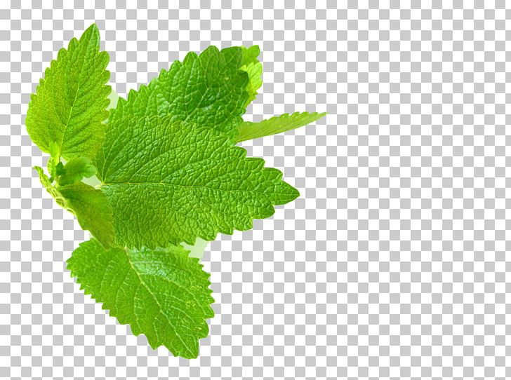 Lemon Balm Herb Mint Leaf PNG, Clipart, Essential Oil, Extract, Food, Fresh Mint, Green Free PNG Download