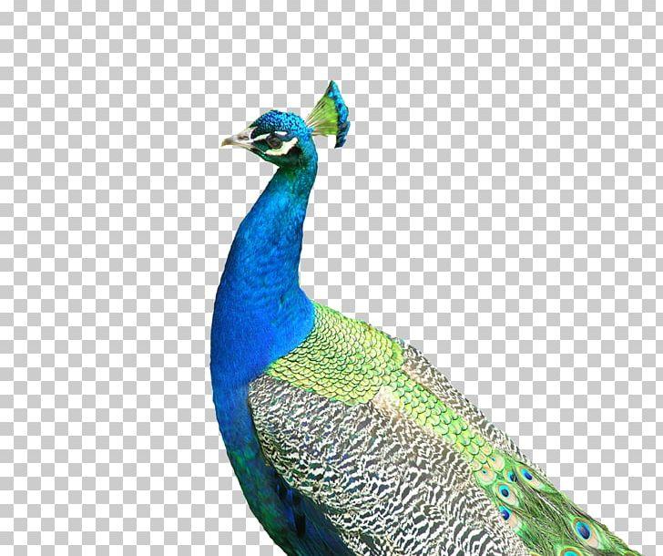 Asiatic Peafowl Bird U9ce5u985e: U5b54u96c0 Southeast Fly The Peacocks PNG, Clipart, Animal, Animals, Asiatic Peafowl, Blue, Encapsulated Postscript Free PNG Download