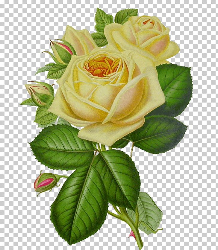 White Rose Vintage PNG, Clipart, Flowers, Nature, Rose Free PNG Download