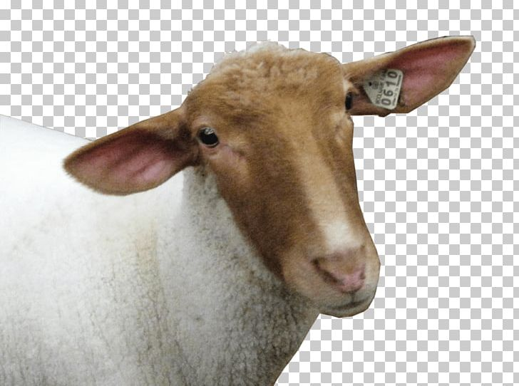 Sheep Goat PNG, Clipart, Animals, Computer Icons, Cow Goat Family, Desktop Wallpaper, Display Resolution Free PNG Download