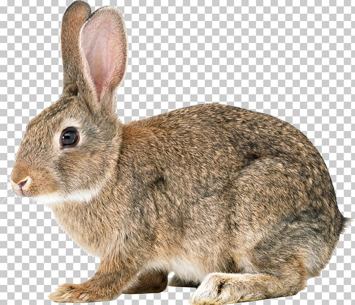 Easter Bunny Hare Cottontail Rabbit Domestic Rabbit European Rabbit PNG, Clipart, Animals, Computer Icons, Cottontail Rabbit, Domestic Rabbit, Easter Bunny Free PNG Download