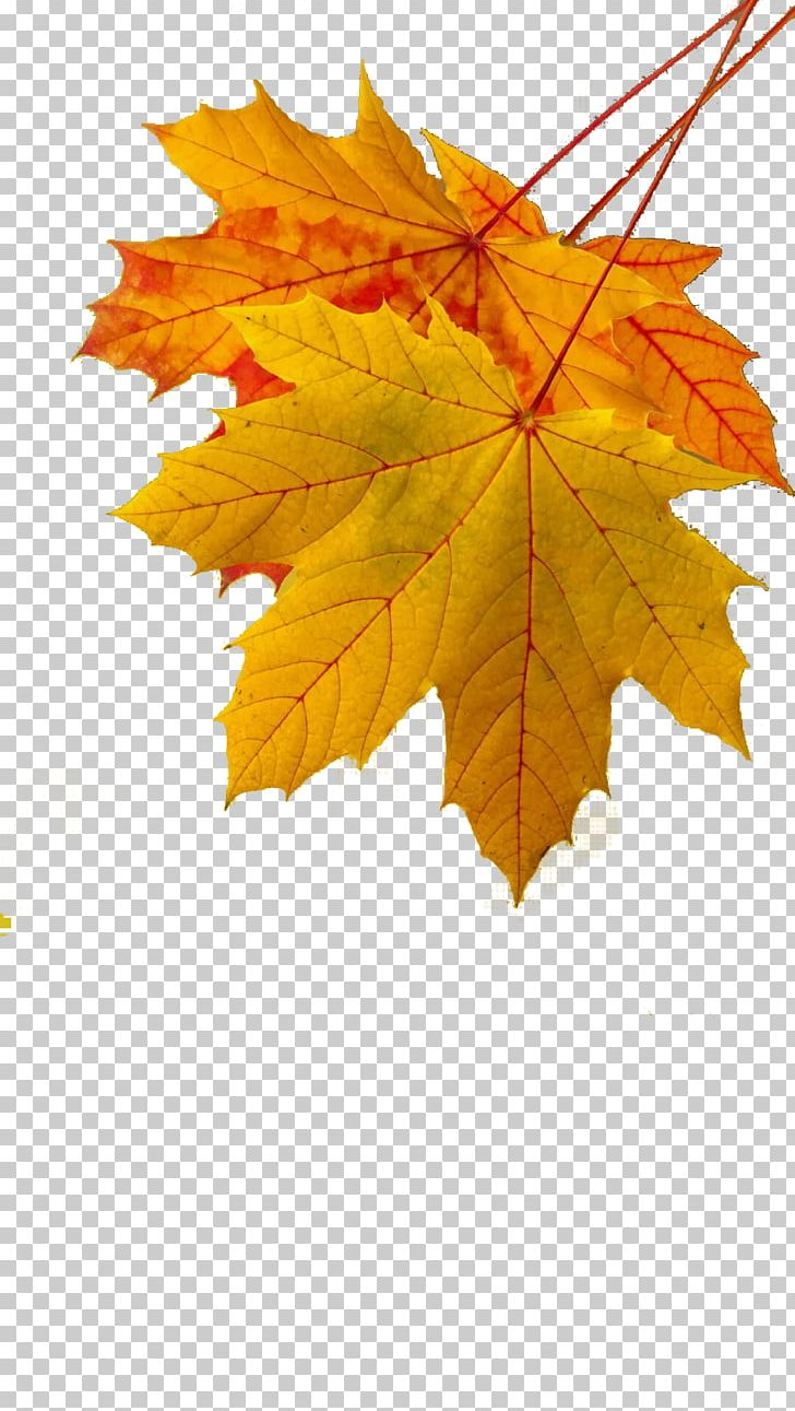 Maple Leaf Autumn Leaf Color Yellow PNG, Clipart, Autumn, Autumn Leaf Color, Autumn Leaves, Chemical Element, Color Yellow Free PNG Download